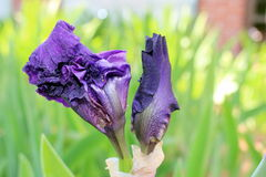 Purple Bearded Iris. Close up of purple bearded iris infurling from its sheath in the springtime Royalty Free Stock Image