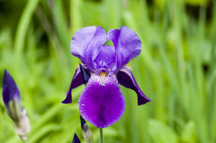 Purple bearded Iris Royalty Free Stock Images