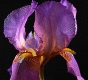 Purple Bearded Iris. Photographed with a black background Royalty Free Stock Image