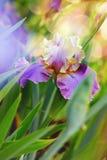 Purple bearded iris shallow DOF Royalty Free Stock Images