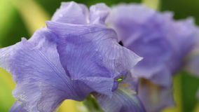 Purple bearded iris and a spider stock video footage