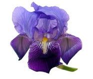 Purple bearded Iris versicolar - white Stock Photography