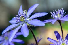 Purple beauties royalty free stock images
