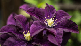 Purple beauties. Pair of the flowers, found in the Slovakia mountains stock photos
