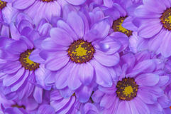 Purple beautiful daisy flower bouqet background Royalty Free Stock Photos