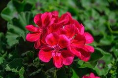 Purple beautiful flower Pelargonium of Geranium family.  royalty free stock image
