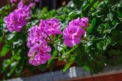 Purple beautiful flower Pelargonium of Geranium family.  stock image