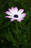 Purple beautiful head of a garden flower zinnia Royalty Free Stock Image