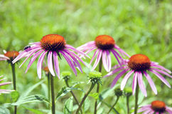 Purple beautiful medical perennial cone flowers Echinacea Purpurea Stock Image