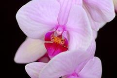 Purple Beauty Royalty Free Stock Image