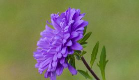 Purple Beauty Stock Photos
