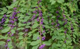 Purple Beautyberry (Callicarpa bodinieri) Stock Photos