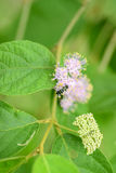 Purple Beautyberry (Callicarpa bodinieri) Royalty Free Stock Images
