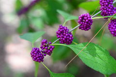 Purple beautyberry Callicarpa fruit Royalty Free Stock Photography