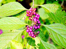 Purple Beautyberry in Southeast Texas Stock Photo