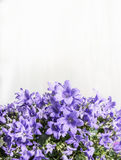 Purple bell campanula flowers on white wooden background Stock Image