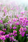 Purple bell erica heather plants. With sunshine royalty free stock photo