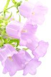 Purple bell flower Stock Image