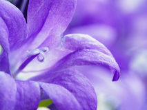 Purple bell flower campanula closeup Royalty Free Stock Photos