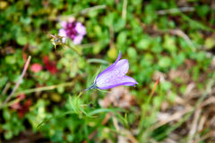 Purple Bell Flower ruellia brittoniana flowers is blossoming in. Nature on a green meadow Stock Photography