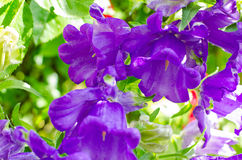 Purple Bell flower Royalty Free Stock Photos