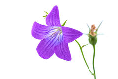 Purple bell flower on a white background Royalty Free Stock Photo