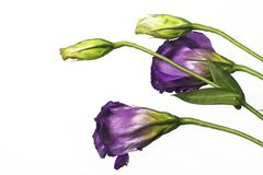 Purple bell flowers Royalty Free Stock Photos