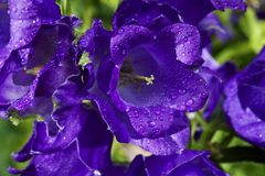 Purple bell flowers Royalty Free Stock Photography