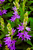 Purple bell flowers Royalty Free Stock Images