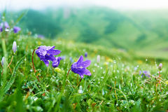 Purple bell flowers in the grass with dew early morning Stock Image