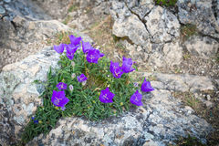 Purple bell flowers on rock Royalty Free Stock Photography