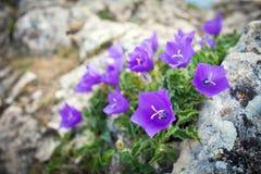 Purple bell flowers on rock Stock Photo