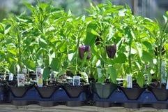 Purple Bell Pepper Plants Stock Photos
