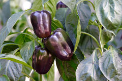 Purple bell pepper Royalty Free Stock Photos