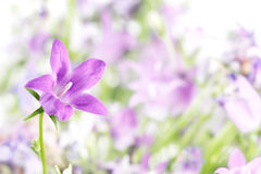 Purple Bellflower Stock Photos