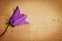 A Purple Bellflower on Vignetted Burlap Background Stock Image