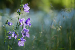 Purple bellflowers standing on left with muted meadow in background. Evening sun light makes the delicate Campanula glow against the out of focus field of stock photo