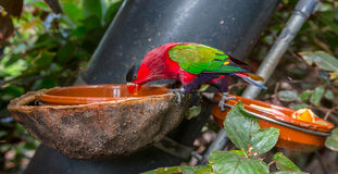 Purple Bellied Lory Royalty Free Stock Photo