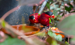 Purple-bellied Lory Stock Photo