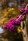 Purple berries Royalty Free Stock Photos