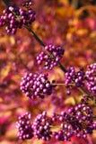 Purple berries Stock Photography