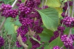 Purple Berries Stock Image