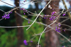 Purple berries. Purple beautyberries and branches with blurred background Royalty Free Stock Photos