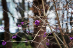 Purple berries. Purple beautyberries and branches with blurred background Stock Photography