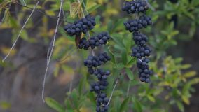 Purple Berries blowing in the wind. This is a video of a clump of purple colored berries blowing in the wind stock footage