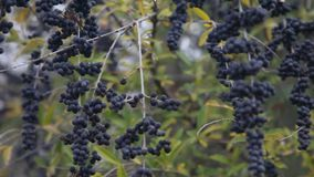 Purple Berries blowing in the wind. This is a video of a clump of purple colored berries blowing in the wind stock video footage