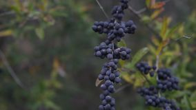 Purple Berries blowing in the wind. This is a video of a clump of purple colored berries blowing in the wind stock video