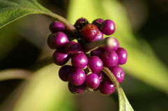 Purple berries in bright sunlight Stock Photography