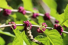 Purple berries in florida swamp. Purple Beautyberry in Florida swamp growing wild stock photography