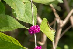 Purple berries in florida swamp. Purple Beautyberry in Florida swamp growing wild royalty free stock photo